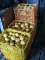 H27.4.12グレープフルーツ収穫②(105k)@IMG_4686