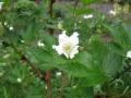 H27.4.14木イチゴの花(拡大)@IMG_4702