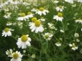H27.4.22ジャーマンカモマイルの花(拡大)@IMG_4731