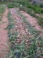 H27.4.24早生タマネギ収穫@IMG_4763
