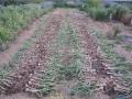 H27.5.13ニンニク収穫@IMG_4978