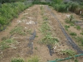 H27.5.14ニンニク収穫@IMG_4983
