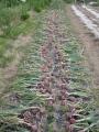 H27.5.25愛知赤玉葱収穫始まる@IMG_5112
