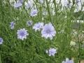 H27.6.1チコリの花(拡大)@IMG_5221