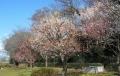 山崎公園の梅林