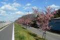 土手の河津桜