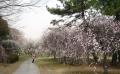 大宮公園の梅林②