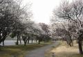 大宮公園の梅林①