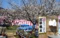 梅の木の盆栽販売