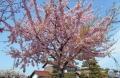 民家の河津桜