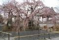 しだれ桜①