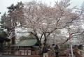 慈恵堂傍の桜