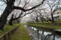 桜のトンネル②