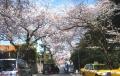本牧・桜道①