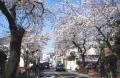 本牧・桜道②