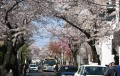 本牧・桜道③