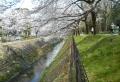 堤の下から見る桜