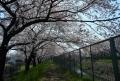昼なお暗し桜の下