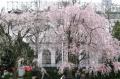 山下公園のしだれ桜①
