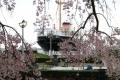 山下公園のしだれ桜②