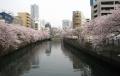 大岡川・両岸の桜