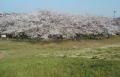 荒川の土手から見た桜