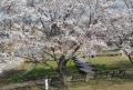 桜の向こうは菖蒲園