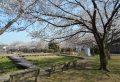 菖蒲園と桜