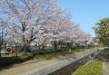 水路沿いの桜