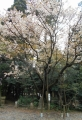 尊(みこと)桜