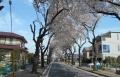 亀久保の桜並木