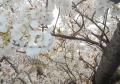 御室桜のUP