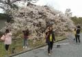 御室桜を背に