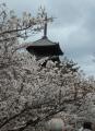 御室桜越しに見る五重塔