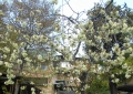 御衣黄桜②