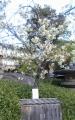 御衣黄桜①