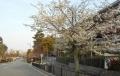 知恩院参道の桜