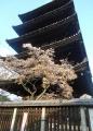 八坂の塔と桜