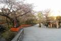ソメイヨシノはすでに葉桜