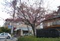 遅咲きの桜も