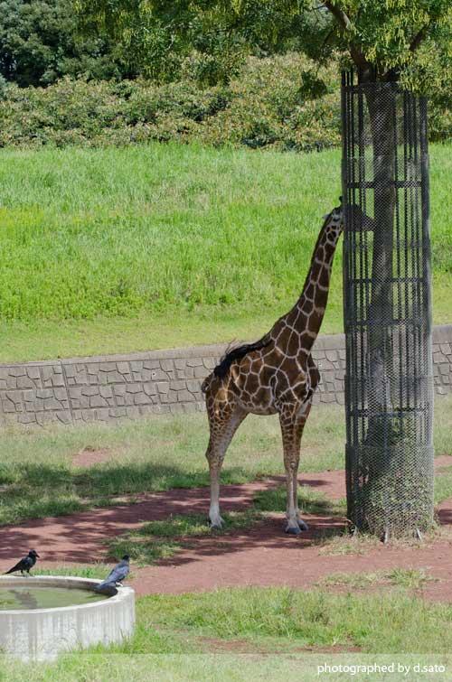 水曜日は動物の日ということで千葉動物公園のきりんさんをご紹介01