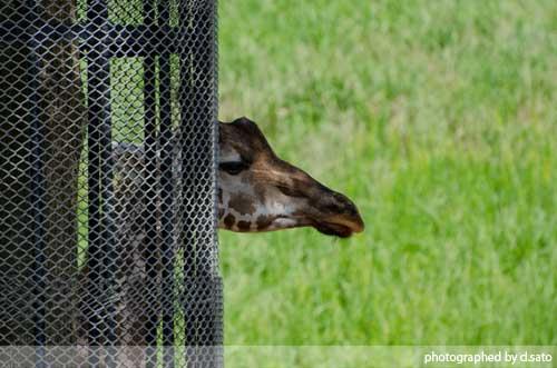 水曜日は動物の日ということで千葉動物公園のきりんさんをご紹介02