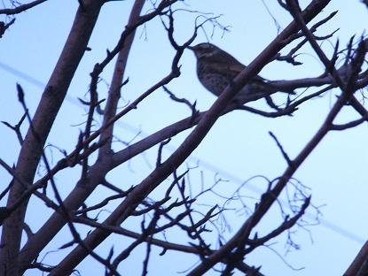 弥生の野鳥2