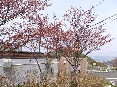 売店裏の桜1