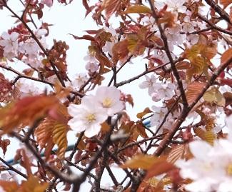 売店裏の桜2