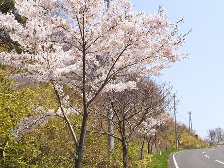 測量山の桜1