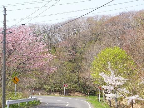 測量山の桜2