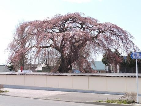法亀寺の枝垂れ桜1