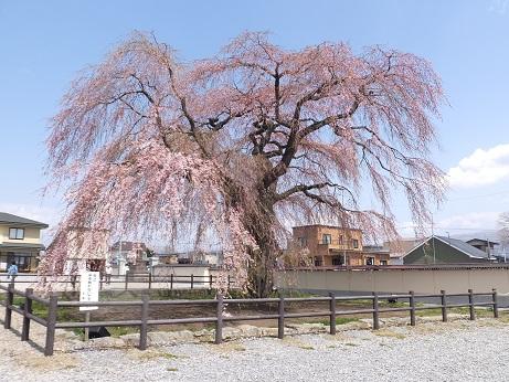 法亀寺の枝垂れ桜2