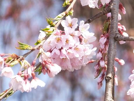 法亀寺の枝垂れ桜3